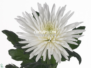 Хризантемы одноголовые 10 шт